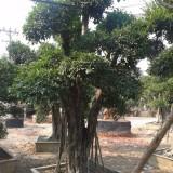 造型榕树 盆景榕树
