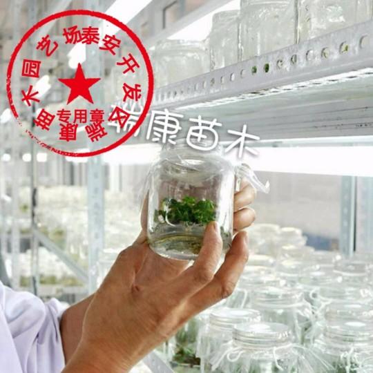 脱毒草莓苗有什么好处