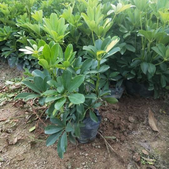 鸭脚木  (鹅掌柴) 吉祥树高30-40公分鸭脚木批发