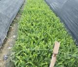 肾蕨   蜈蚣草  高20-30公分肾蕨价格