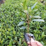 巴西野牡丹 紫花野牡丹 高15-20公分巴西野牡丹小袋苗批发