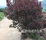 红叶乌桕   高1.5米红叶乌桕价格  漳州基地直销
