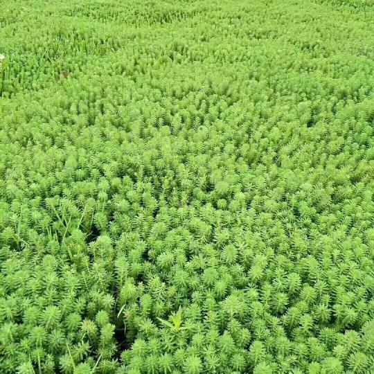 水生植物狐尾藻    狐尾藻批发  漳州基地直销
