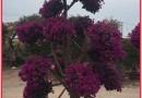 三角梅桩紫红三角梅价格