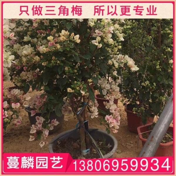 樱花三角梅