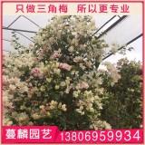 櫻花三角梅