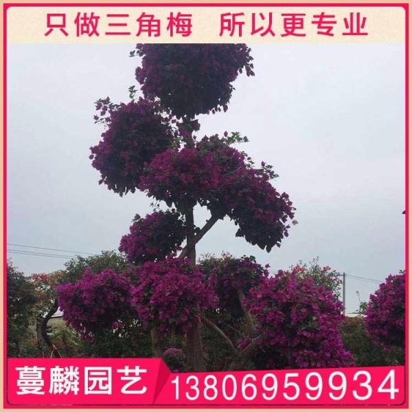 紫色三角梅桩头