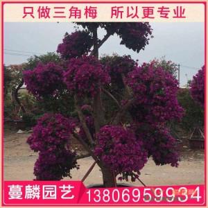 紫色三角梅盆栽桩景