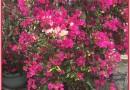 紫花三角梅勒杜鹃