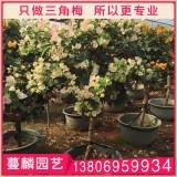 漳州三角梅