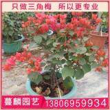 红花勒杜鹃盆栽