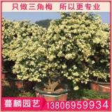 樱花三角梅大盆景