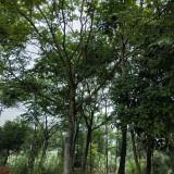 20公分朴树
