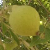 美国黑核桃树