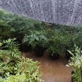南天竹,上海南天竹盆栽
