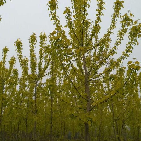 鄭州裕林苗圃供金葉復葉槭