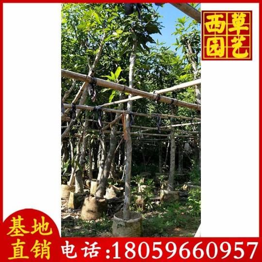 15公分芒果樹