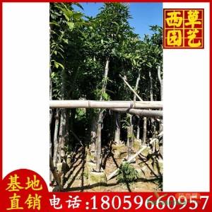 15公分芒果树