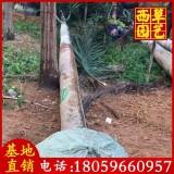 狐尾椰子价格