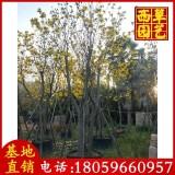 丛生黄花风铃木价格