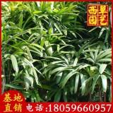 棕竹价格观音竹