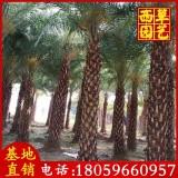 银海枣 中东海枣  杆高4米 银海枣批发