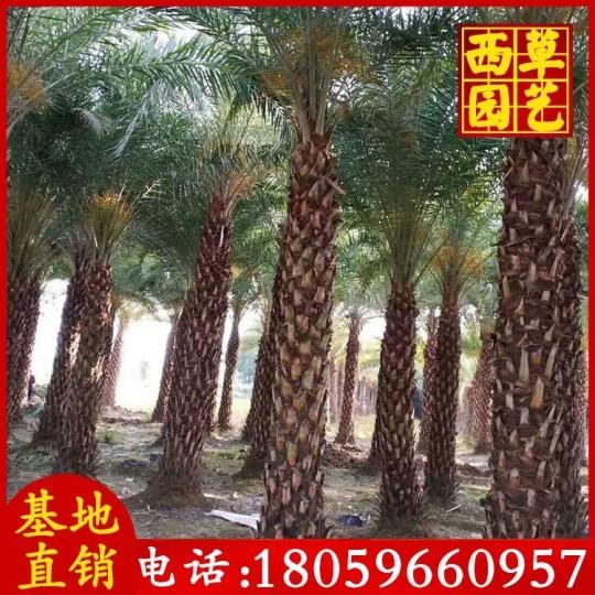 銀海棗 中東海棗  桿高4米 銀海棗批發