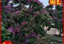 紫色造型三角梅