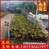 变叶木苗场直销 高度20-40 价格0.6