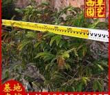 红绒球苗场直销 高度1米-1.5米 25 元
