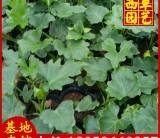 春羽苗场直销 高度20-30 价格1.3