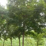 河南地区大量供应五角枫