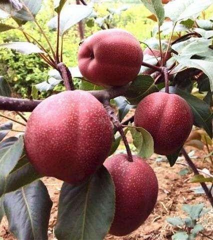 奥洪一号红梨苗,新品种红梨