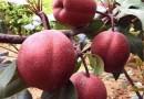 奥红一号红梨苗