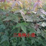 三角枫小苗