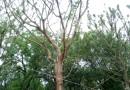 香樟胸径15-100公分