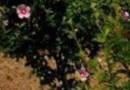 5公分红花木槿