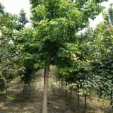 15公分金叶复叶槭