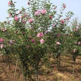 8公分红花木槿