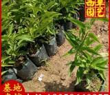 鸳鸯茉莉苗场直销 高度20-30 1.2元
