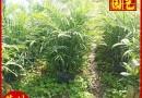 高1米夏威夷椰子苗
