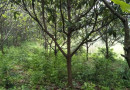 8公分枇杷树
