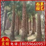 中东海枣苗场直销 杆高3-3.5米 650元