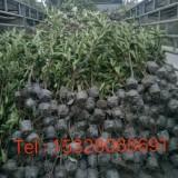 珊瑚树(冬青)