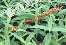 墨西哥鼠尾草