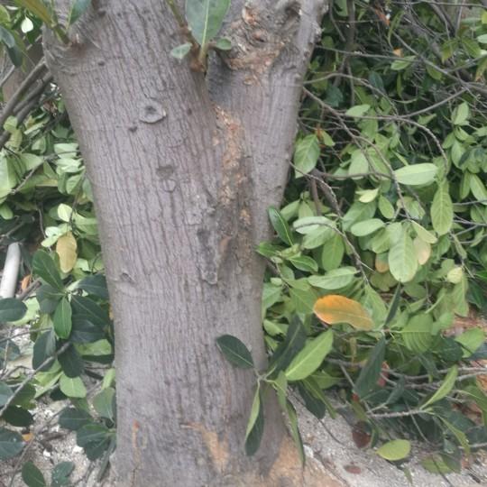 20年菠萝蜜树
