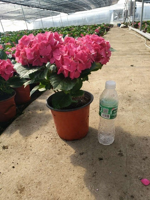 綠化繡球,無盡夏,繡球花