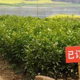 柑桔树苗新品种(金秋砂糖桔)