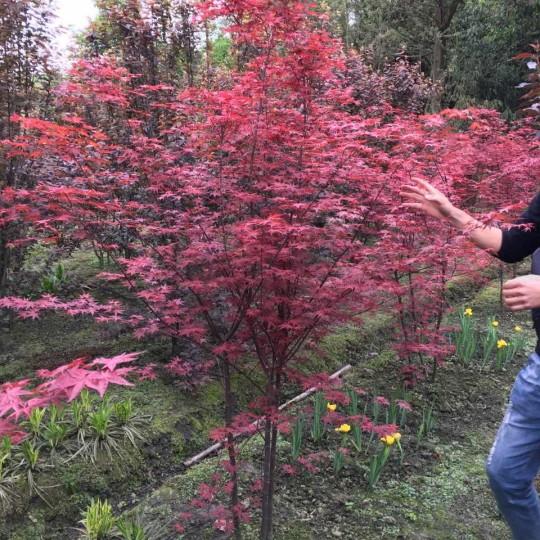 丛生日本红枫