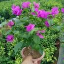 云南紫三角梅小苗  多色三角梅 叶子花 勒杜鹃 大量批发